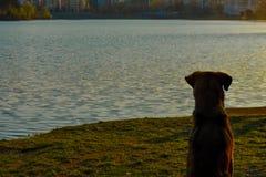 En hund som sitter på det gröna gräset som tycker om solnedgången arkivbild