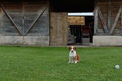 En hund som sitter på gräset i en bygdträdgård arkivfoton