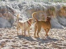 En hund som sniffar en annan hundkapplöpning, knuffar på stranden med snurrad upp sand Royaltyfria Foton