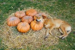 En hund som sover på pumpor royaltyfri foto