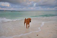 En hund som spelar i havet royaltyfri foto