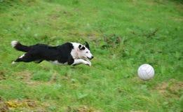 En hund som spelar med en boll royaltyfri bild