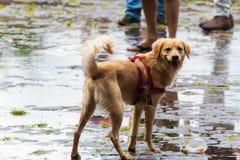 En hund som spelar på de våta gatorna efter regn arkivbild