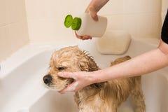 En hund som tar en dusch med tvål och vatten royaltyfri foto