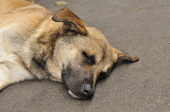 En hund sover på trottoaren Arkivbilder