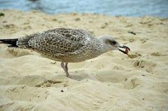 En hungrig havsfiskmås som spelar med en kärna på stranden arkivfoton