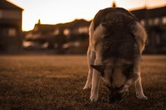 En Husky Shepherd royaltyfri fotografi