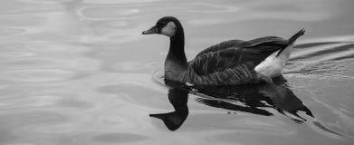En and i ett damm (B&W) Fotografering för Bildbyråer