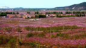 En by i persikan blommar havet i det Pinggu länet Royaltyfria Bilder