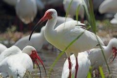 En ibis i en sötvattens- pöl i Florida Arkivfoton