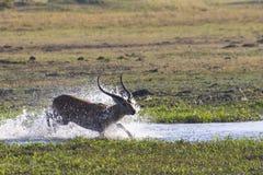 En impala hoppar till och med vattnet Arkivfoton