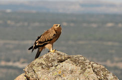 En imperialistiska Eagle Royaltyfri Foto