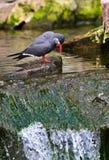 En incatärna, fågel, på vaggar ovanför vattenfallet arkivbilder