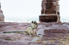 En indier gömma i handflatan ekorren som har mat Royaltyfri Foto