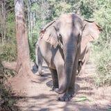 En indisk elefant Royaltyfria Bilder