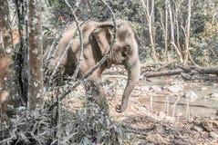 En indisk elefant Arkivfoto