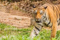 En indisk tiger i det löst Kunglig person Bengal tiger Arkivfoto