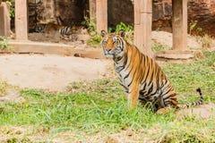 En indisk tiger i det löst Kunglig person Bengal tiger Royaltyfri Bild