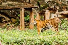 En indisk tiger i det löst Kunglig person Bengal tiger Royaltyfria Bilder