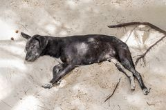 En inget mörk grå hund som sover på sanden arkivfoto