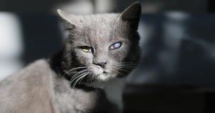 En inhemsk grå katt med den vita bröstkorgen efter kamp med hundkapplöpning arkivfilmer