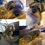 En inhemsk hund av Schnauzeraveln Royaltyfri Fotografi