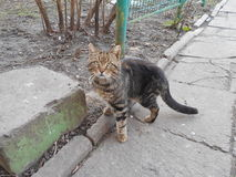 En inhemsk katt i gården på trottoaren Royaltyfri Bild
