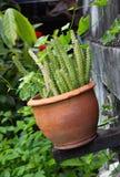En inlagd kaktus Royaltyfria Bilder