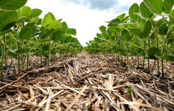 En innovativ metod av att växa kornvete, sojabönor, havre han arkivbilder