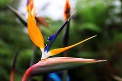 En invernadero, en Glasgow, la flor colorida de A tres nombró los reginae de Strelitzia Foto de archivo libre de regalías