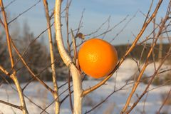 En invierno una naranja en un árbol de abedul, una cosecha sin precedente es un fenómeno artificial Imagen de archivo libre de regalías