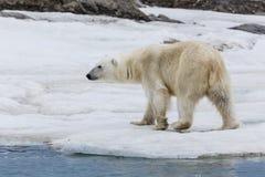 En isbjörn på iskustskärgården av Svalbard Arkivfoto