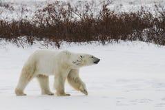 En isbjörn på tundran snow Kanada arkivbild