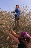 En ISMvolontär och ett palestinskt barn i en olivgrön dunge. Royaltyfri Bild
