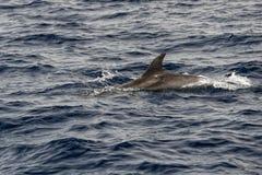 En isolerad delfinbanhoppning Royaltyfria Foton