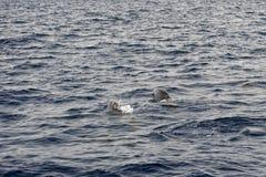 En isolerad delfinbanhoppning i det djupblå havet Arkivfoto