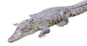 En isolerad krokodil Royaltyfria Bilder