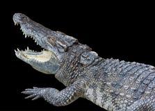 En isolerad krokodil Arkivfoto