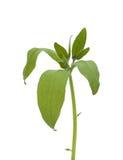 En isolerad kvist av boragen Fotografering för Bildbyråer