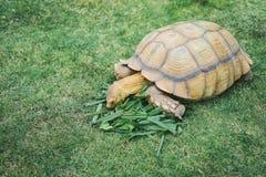 En jätte- afrikan sporrad sköldpadda som äter gräs Fotografering för Bildbyråer