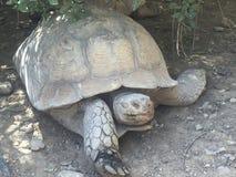 En jätte- gammal sköldpadda på en torr dag royaltyfria bilder