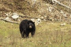 En jätte- svart björn i en dal Royaltyfri Fotografi