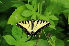 En jätte- swallowtailfjäril royaltyfri fotografi