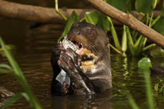 En jätte- utter som äter en fisk i Pantanalen, Brasilien Royaltyfri Foto