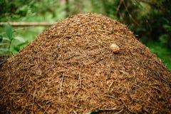 En j?tte- myrstack som byggs av en skogmyra Murovenik i skogen fotografering för bildbyråer