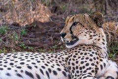 En jachtluipaard die rond rusten eruit zien stock afbeeldingen