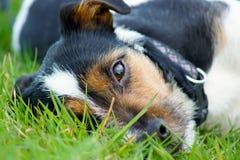 En Jack Russell Terrier ser upp från gräset royaltyfri bild