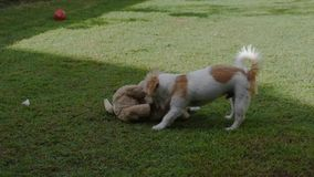 En Jack Russell Terrier valphund spelar med en välfylld leksak stock video