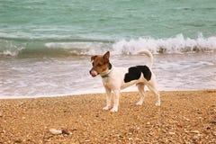En Jack Russell valp på stranden arkivbilder