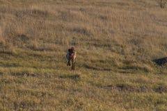 En jaga hund av den kurzhaar deutschen arkivfoton